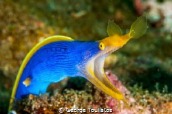 Blue Ribbon Eel!!! by George Touliatos